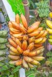 Bananowe rośliny Zdjęcia Stock