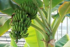 bananowe tło owoc odizolowywali biel Zdjęcia Stock