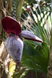 Bananowego drzewa kwiat Zdjęcie Royalty Free