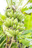 Bananowego drzewa rośliny liścia owoc surowy dojrzały pojęcie obraz stock
