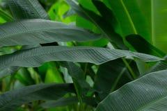 Bananowego okwitnięcia organicznie świeży Obrazy Royalty Free