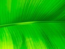 Bananowej rośliny liścia tekstury zbliżenie zdjęcia stock