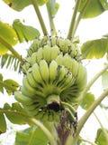 bananowi banany bunch drzewa Zdjęcia Stock