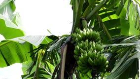 Bananowi drzewa I owoc