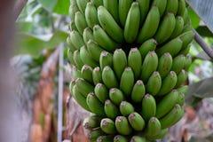 Bananowi drzewa na Canarian wyspie Zdjęcie Stock