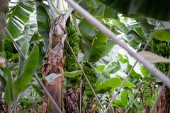 Bananowi drzewa na Canarian wyspie Zdjęcia Royalty Free