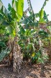 Bananowi drzewa r w plantaci w Z kości słoniowej wybrzeżu, afryka zachodnia Zdjęcia Royalty Free