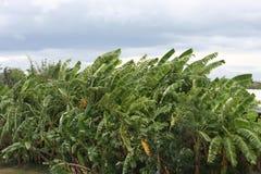 Bananowi drzewa w Tajlandia Zdjęcia Royalty Free