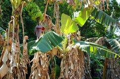 Bananowi drzewa z owoc w Vinales dolinie, Kuba Obraz Stock