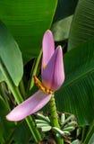 Bananowi okwitnięcia i zieleni liście Zdjęcie Stock
