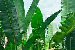 Bananowi palma liście Obrazy Stock