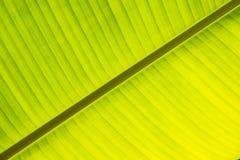 bananowy świeży zielony liść Zdjęcia Stock