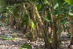 Bananowy dorośnięcie w plantaci Obraz Stock