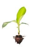 Bananowy drzewo Zdjęcie Stock
