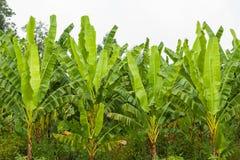 Bananowy drzewo Obrazy Stock