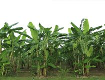 Bananowy drzewo Fotografia Royalty Free
