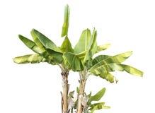 Bananowy drzewo Obrazy Royalty Free