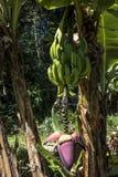 Bananowy drzewo i kwiat Obrazy Stock