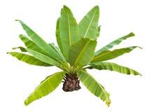 Bananowy drzewo odizolowywający obrazy royalty free