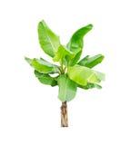 Bananowy drzewo odizolowywający obrazy stock