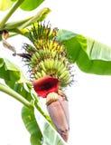 Bananowy drzewo Zdjęcia Stock