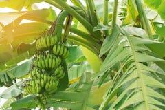 Bananowy drzewo, rocznika filtr Zdjęcie Stock