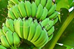 Bananowy drzewo z wiązką banany Obraz Stock
