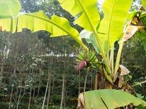 Bananowy drzewo z zielenią opuszcza w plantaci i bananowy kwiat Fotografia Royalty Free