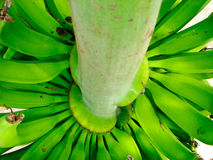 bananowy krzak zdjęcia royalty free