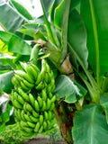 bananowy krzak zdjęcie royalty free