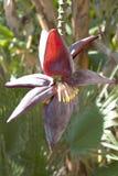 bananowy kwiat Obrazy Royalty Free