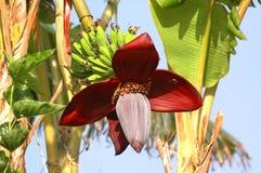 bananowy kwiat Zdjęcia Royalty Free