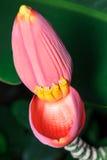 Bananowy Kwiat Fotografia Stock