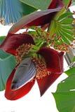 Bananowy kwiat Zdjęcie Stock
