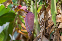 Bananowy kwiat Zdjęcia Stock