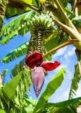 Bananowy kwiat Zdjęcie Royalty Free