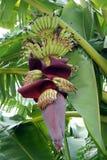 Bananowy kwiat i potomstwa bananowi na bananowym drzewie Fotografia Royalty Free