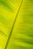 bananowy liść Zdjęcie Royalty Free