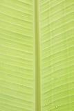 Bananowy liść Zdjęcie Stock