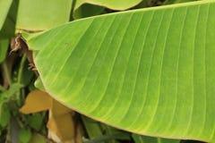 bananowy liść Zdjęcia Royalty Free