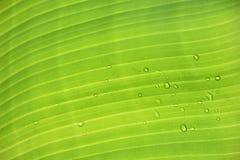 bananowy liść Fotografia Stock