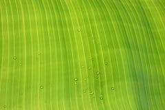 bananowy liść Obrazy Royalty Free
