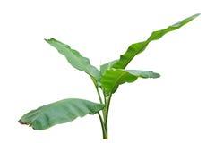 Bananowy liść Moczę odizolowywam na białym tle Zdjęcie Royalty Free