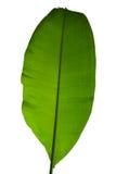 Bananowy liść odizolowywa Zdjęcia Stock