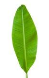 Bananowy liść odizolowywający Fotografia Royalty Free