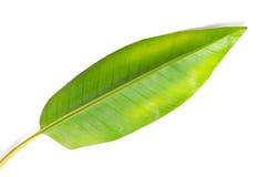 Bananowy liść odizolowywający na białym tle Fotografia Stock