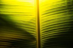 Bananowy liść z światłem Fotografia Stock