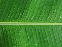 Bananowy liść z rosą Fotografia Royalty Free
