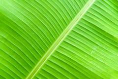 Bananowy liść z wodnymi kropelkami Obrazy Stock