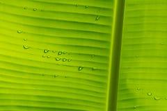 Bananowy liść z wody kroplą i światło na plecy zdjęcia royalty free